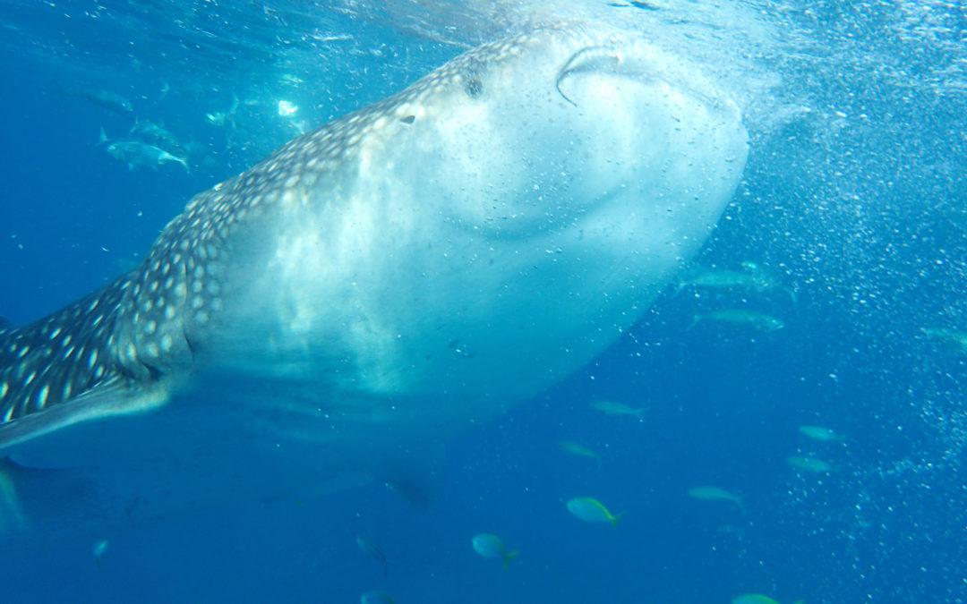 宿霧景點 X Oslob 與鯨鯊共游驚奇之旅 X Tumalog 仙境瀑布