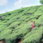 南印度喀拉拉之美: 柯欽 Boat Tour 與 蒙納 Munnar 茶園